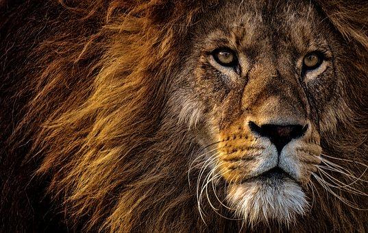 lion-3576045__340